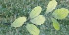 smflower